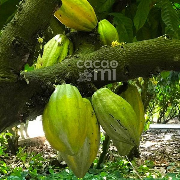 Cocoa Butter được chiết xuất từ trái Cacao nguyên chất